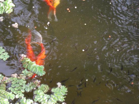 carpes Koï au bassin